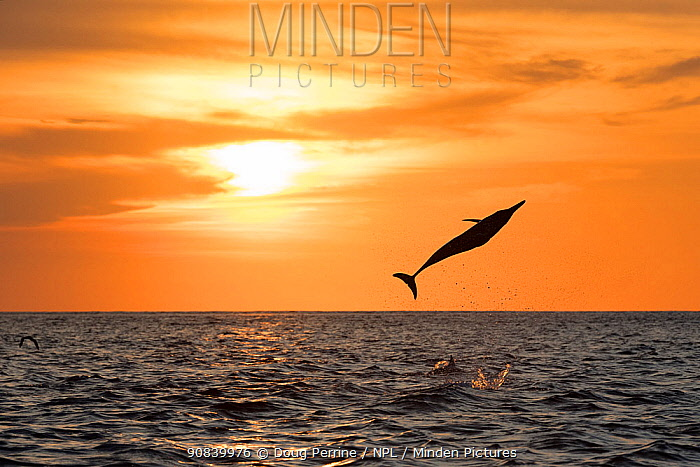 Spinner dolphin (Stenella longirostris) leaping at sunset. Pacific Ocean, Southern Costa Rica.