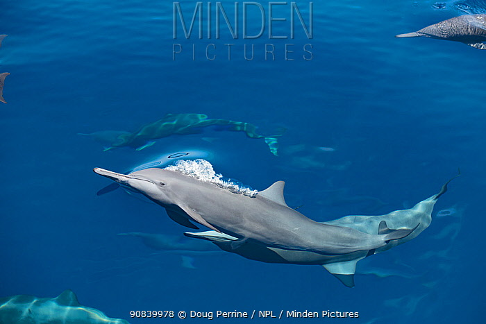 Spinner dolphin (Stenella longirostris) surfacing. Pacific Ocean, Southern Costa Rica.