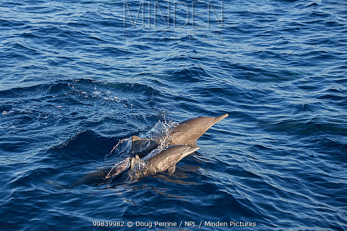 Spinner dolphin (Stenella longirostris) female and calf porpoising. Pacific Ocean, Southern Costa Rica.