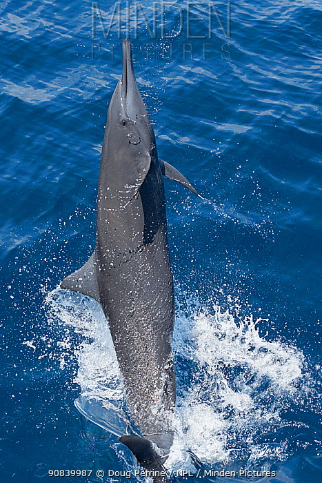 Spinner dolphin (Stenella longirostris) leaping and spinning out of water. Pacific Ocean, Southern Costa Rica.