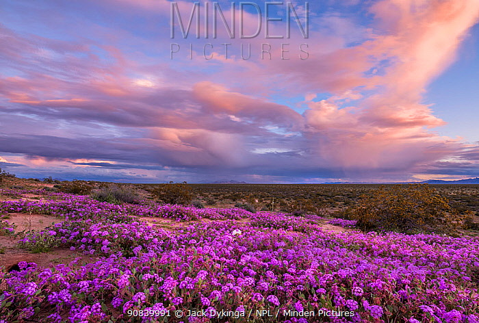 Sand verbena (Abronia villosa) flowering on Mohawk Dunes under stormy evening sky. Barry M Goldwater Air Force Range, Arizona, USA. March 2020.