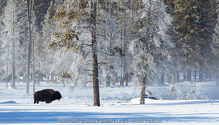 Bison (Bison bison) in snow, at woodland edge with frost covered trees. Yellowstone National Park, USA, January 2020.