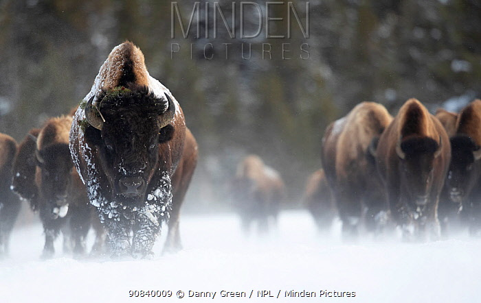 Bison (Bison bison) herd walking in heavy snow. Yellowstone National Park, USA, January.