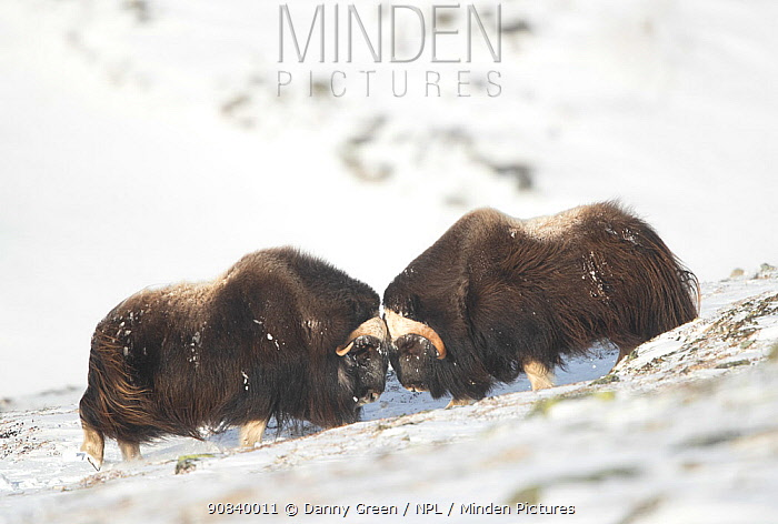 Musk ox (Ovibos moschatus), two fighting in snow. Dovrefjell National Park, Norway, February.