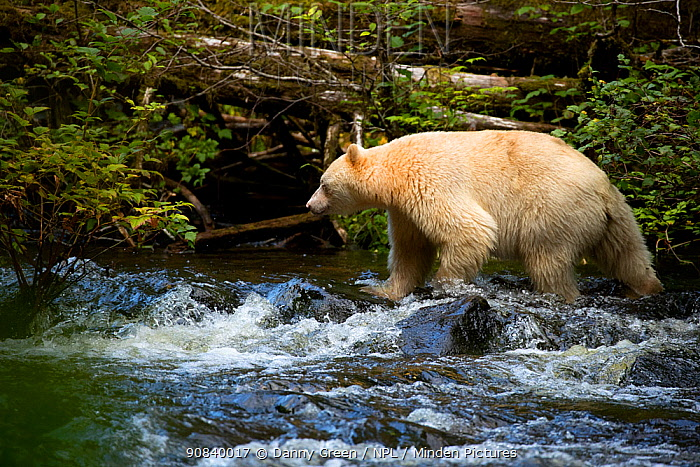 Kermode bear (Ursus americanus kermodei) hunting for Salmon in stream. British Columbia, Canada, September.