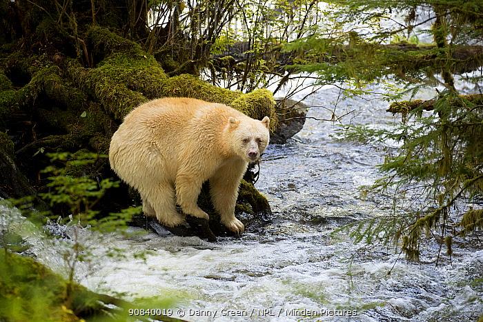 Kermode bear (Ursus americanus kermodei) standing on roots at water's edge, hunting for fish. British Columbia, Canada, September.