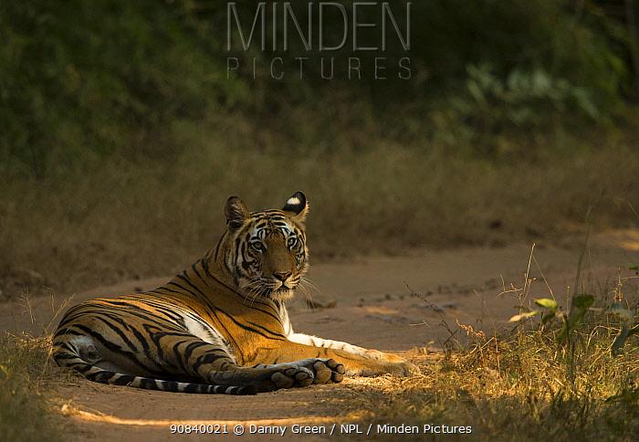 Bengal tiger (Panthera tigris tigris) resting on track. Bandhavgarh National Park, India, December.