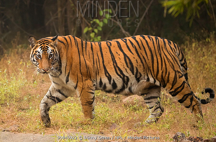 Bengal tiger (Panthera tigris tigris) profile walking, looking for prey. Bandhavgarh National Park, India, December.