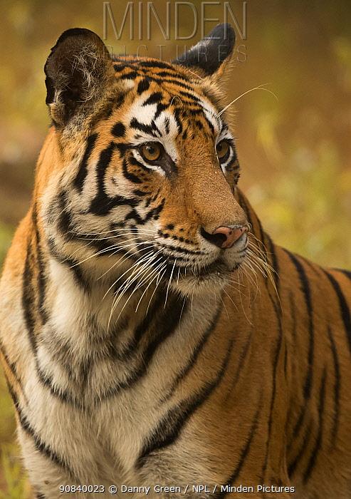 Bengal tiger (Panthera tigris tigris) female, portrait. Bandhavgarh National Park, India, December.