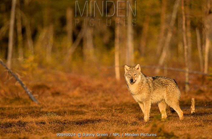 Wolf (Canis lupus) standing at woodland edge. Finland, April.