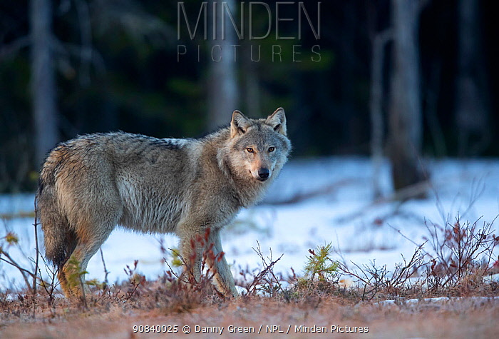Wolf (Canis lupus) standing in snow at woodland edge. Finland, April.