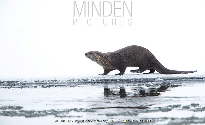 North American river otter (Lontra canadensis) on snow covered bank, reflected in icy water. Yellowstone National Park, USA, January.