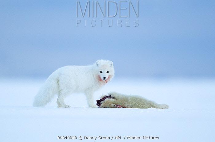 Arctic fox (Vulpes lagopus) standing in snow besides Ringed seal (Pusa hispida) pup prey. Svalbard, Norway, April.