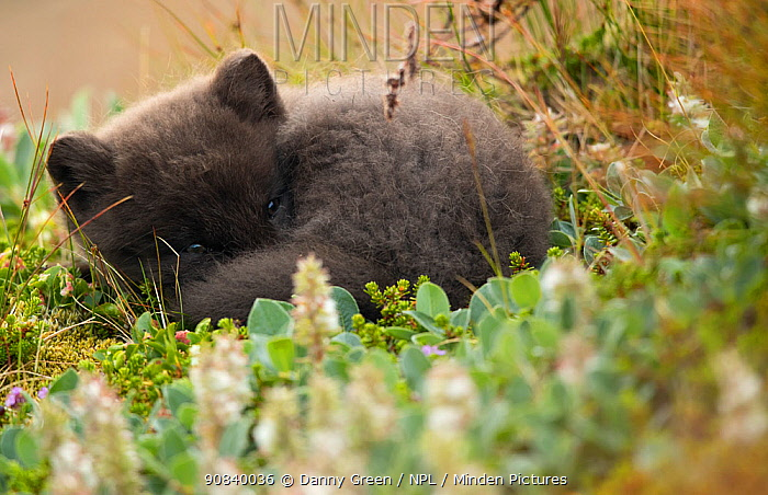 Arctic fox (Vulpes lagopus) cub resting. Hornstrandir Nature Reserve, Iceland, July.