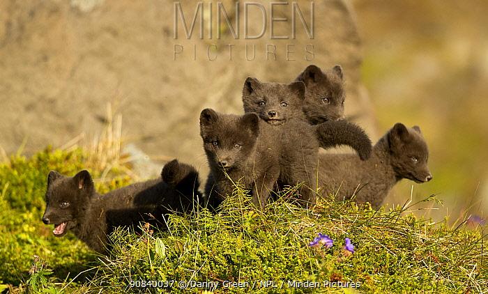 Arctic fox (Vulpes lagopus) cubs playing. Hornstrandir Nature Reserve, Iceland, July.