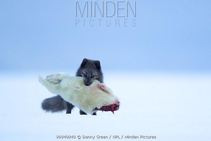 Arctic fox (Vulpes lagopus) carrying Ringed seal (Pusa hispida) pup prey in mouth. Svalbard, Norway, April.