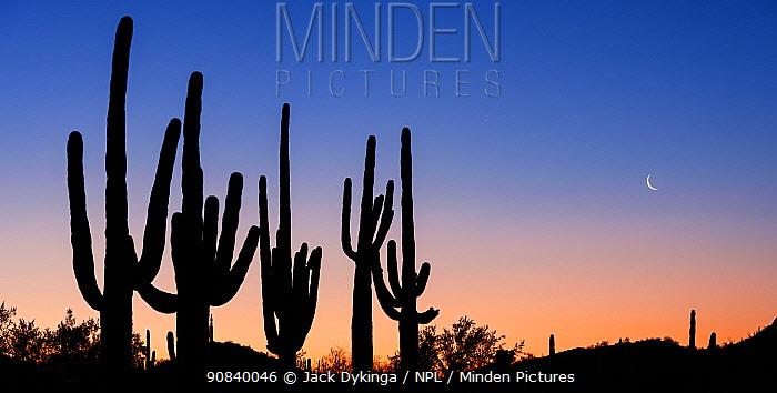 Saguaro (Carnegiea gigantea) cacti in Sonoran Desert, silhouetted in pre-dawn light. Cabeza Prieta National Wildlife Refuge, Arizona, USA. March 2020.