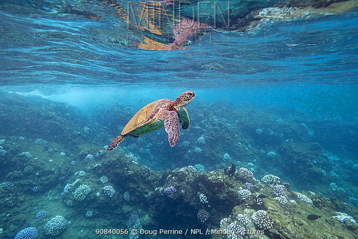 Green sea turtle (Chelonia mydas) swimming over bleached Cauliflower coral (Pocillopora meandrina) colonies during marine heatwave. Black Rock, West Maui, Hawaii, USA. October 2019.
