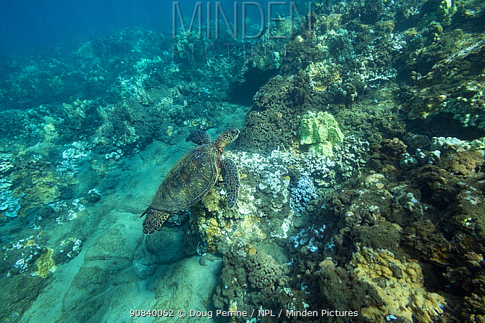 Green sea turtle (Chelonia mydas) swimming over coral reef with bleached coral, healthy coral and dead coral covered with dark algae. During marine heat wave. Wahikuli, West Maui, Hawaii, USA. October 2019.