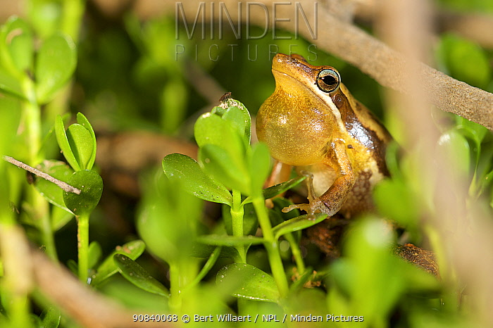 Slender tree frog (Litoria adelaidensis) male vocalising amongst vegetation, throat pouch extended. Herdsman Lake, Perth, Western Australia. November.