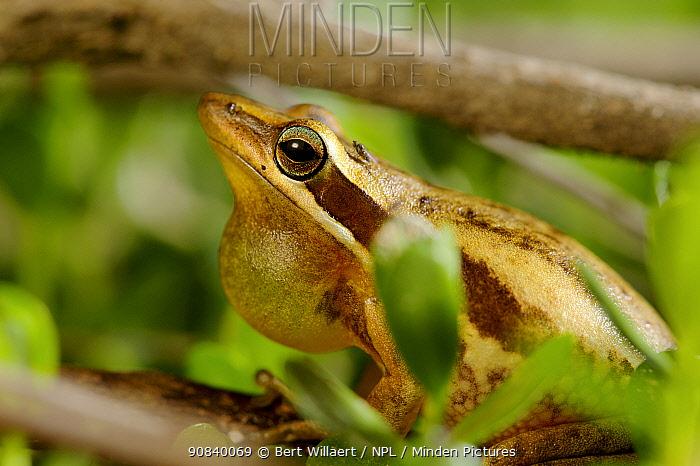 Slender tree frog (Litoria adelaidensis) male vocalising, throat pouch extended. Herdsman Lake, Perth, Western Australia. November.