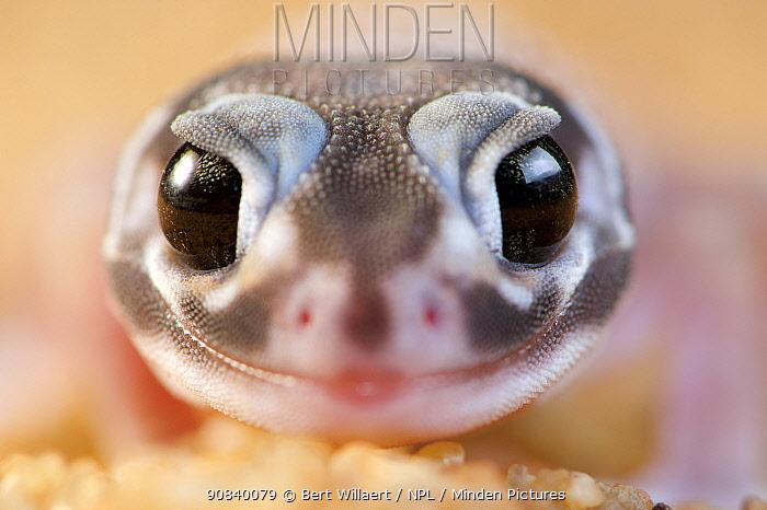 Smooth knob-tailed gecko (Nephrurus levis occidentalis) portrait. Kalbarri, Kalbarri National Park, Western Australia. October.