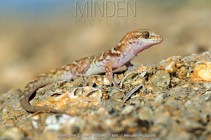 Bynoe's gecko (Heteronotia binoei). Hamelin Pool, Shark Bay, Western Australia. October.