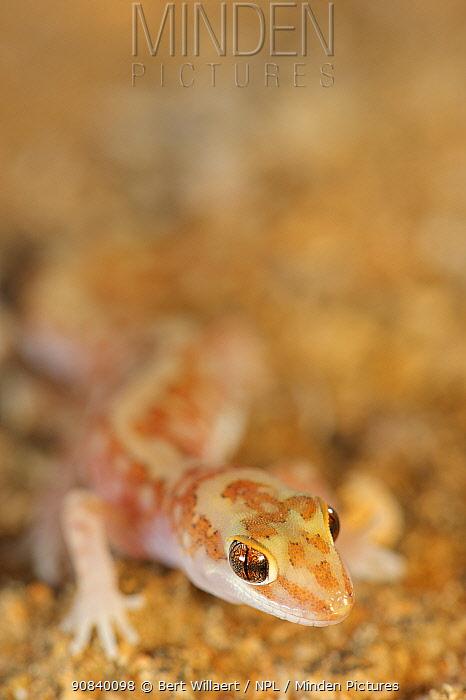 Mottled ground gecko (Lucasium squarrosum). Hamelin Pool, Shark Bay, Western Australia. October.