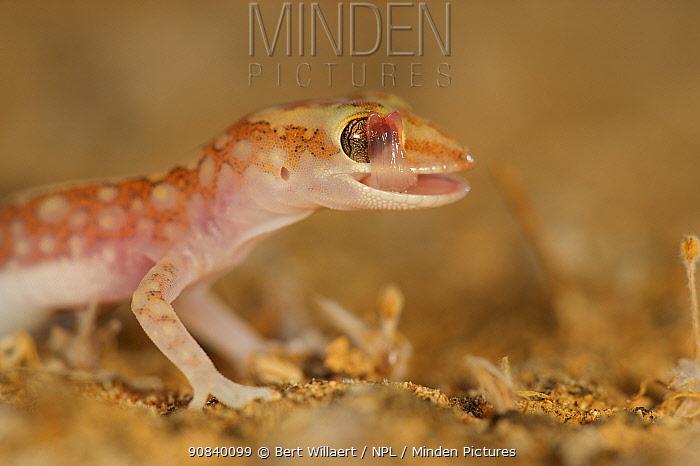 Mottled ground gecko (Lucasium squarrosum) cleaning eye. Hamelin Pool, Shark Bay, Western Australia. October.
