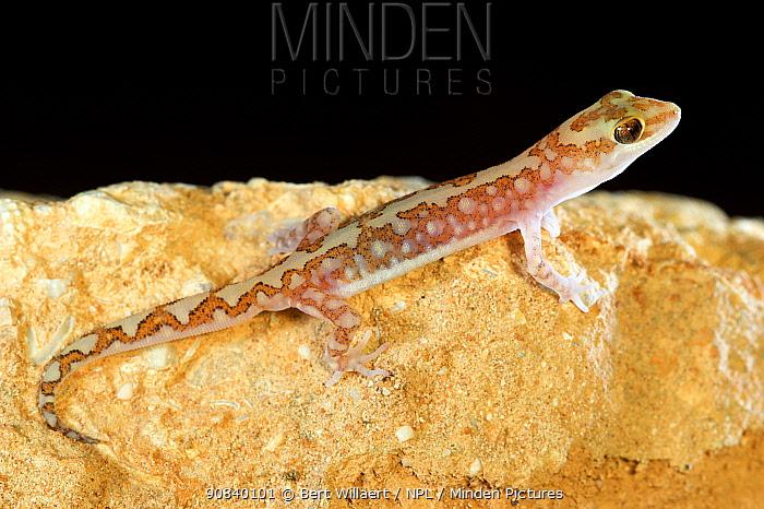 Mottled ground gecko (Lucasium squarrosum) on rock. Hamelin Pool, Shark Bay, Western Australia. October.
