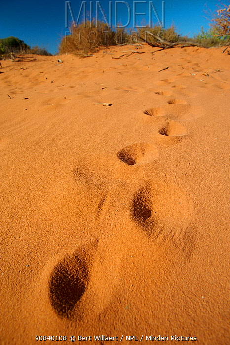 Short-beaked echidna (Tachyglossus aculeatus) footprints through sand. Francois Peron National Park, Shark Bay, Western Australia. October 2019.