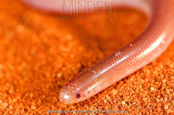 Southern blind snake (Anilios australis) on orange sand. Francois Peron National Park, Shark Bay, Western Australia. October.