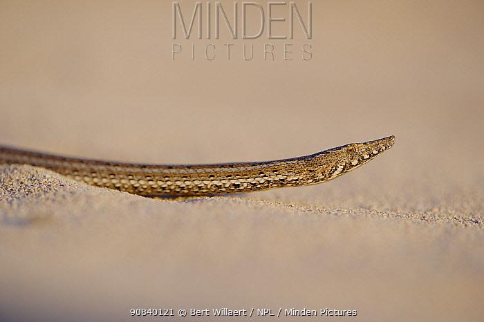 Burton's snake-lizard(Lialis burtonis) on sand. Edel Land National Park (proposed), Shark Bay, Western Australia. October.