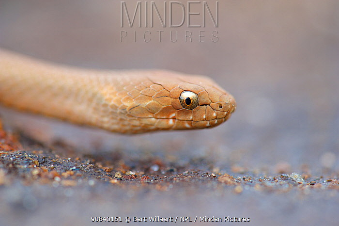 Bardick snake (Echiopsis curta) portrait. Leeuwin-Naturaliste National Park, Western Australia. November.