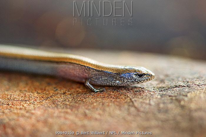 Lowlands earless skink (Hemiergis peronii tridactyla). Margaret River; Western Australia. November.
