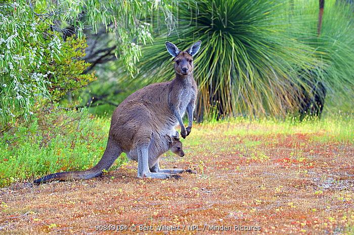Western grey kangaroo (Macropus fuliginosus) female with joey in pouch. Leeuwin-Naturaliste National Park, Western Australia, November.