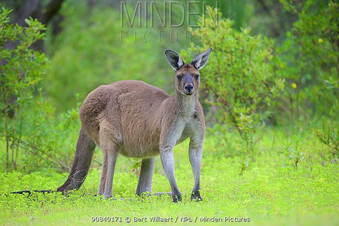 Western grey kangaroo (Macropus fuliginosus). Leeuwin-Naturaliste National Park, Western Australia. November.