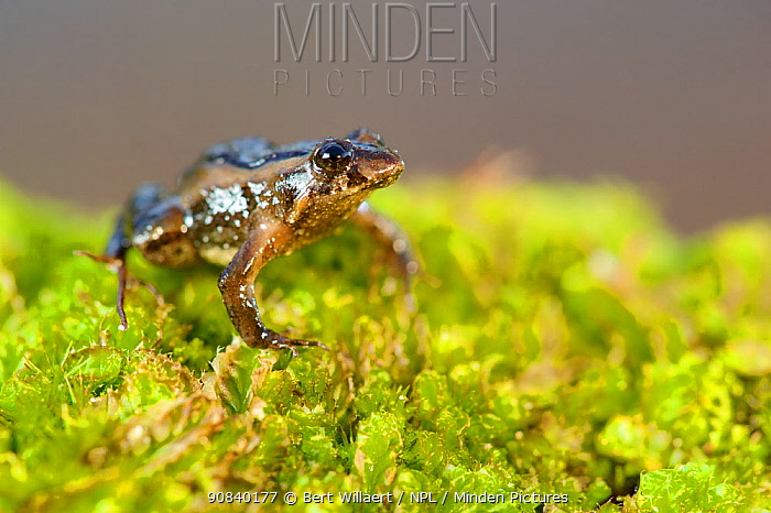 Clicking froglet (Crinia glauerti) on moss. Walpole, Walpole-Nornalup National Park, Western Australia. November.