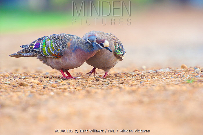 Common bronzewing (Phaps chalcoptera) pair in courtship. Cheynes Beach, Western Australia. November.