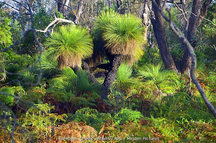 Grass tree (Xanthorrhoea sp) plants in forest. Lake Muir National Park, Western Australia. November 2019.