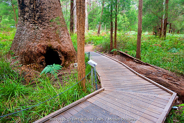 Red tingle tree (Eucalyptus jacksonii), base of tree beside forest boardwalk. Ancient Empire Walk, Valley of the Giants, Walpole-Nornalup National Park, Western Australia. November 2019.