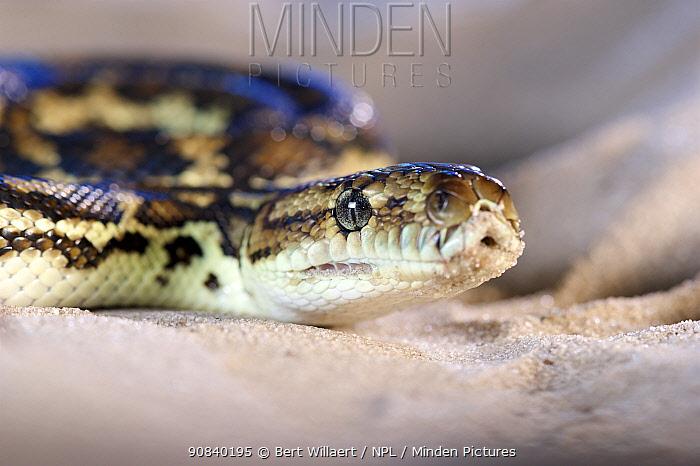 South-west carpet python (Morelia spilota imbricata), portrait. Cheynes Beach, Western Australia. November.