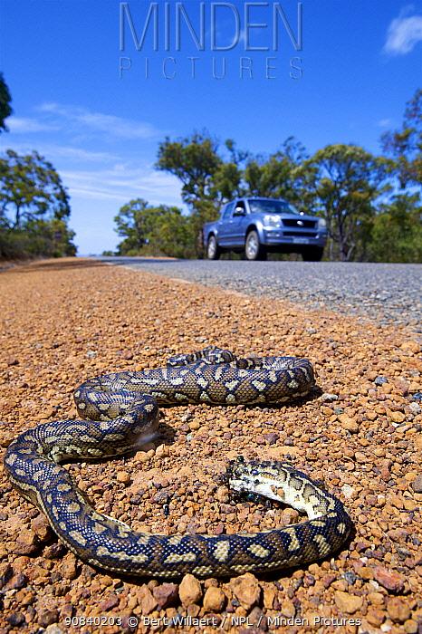 South-west carpet python (Morelia spilota imbricata) dead on roadside, victim of car strike. Chester Pass Road, Stirling Range National Park, Western Australia. November 2019.