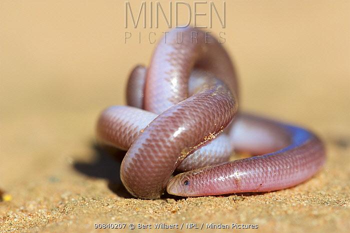 Southern blind snake (Anilios australis) coiled on sand. Stirling Range National Park, Western Australia. November.