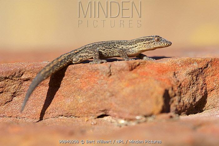 South-western clawless gecko (Crenadactylus ocellatus) basking on rock. Stirling Range National Park, Western Australia. November.