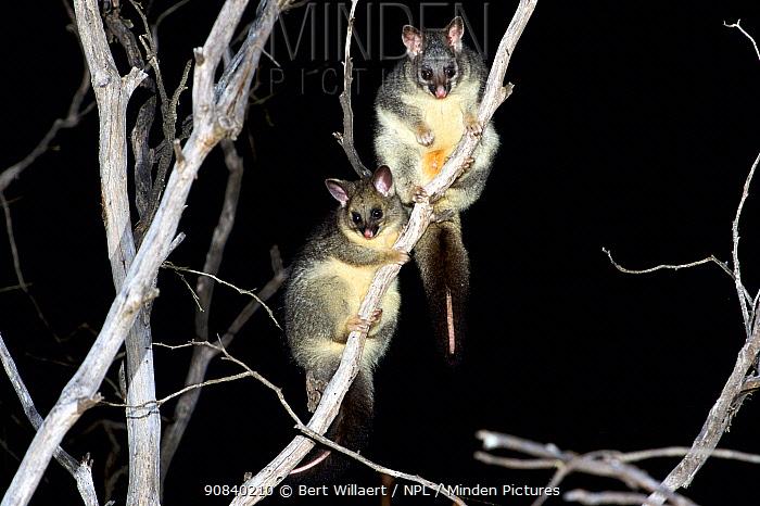 Common brushtail possum (Trichosurus vulpecula) female and large joey in tree at night. Stirling Range National Park, Western Australia. November.
