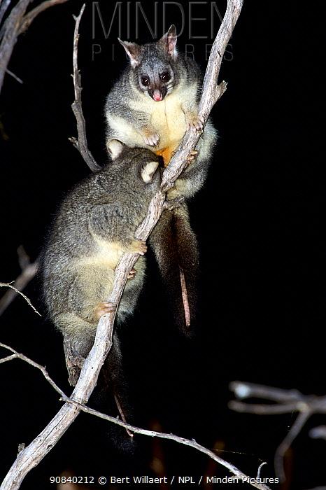 Common brushtail possum (Trichosurus vulpecula) female suckling large joey in tree at night. Stirling Range National Park, Western Australia. November.