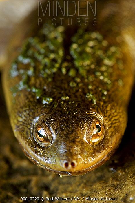 Narrow-breasted snake-necked turtle (Chelodina colliei) portrait. Herdsman Lake, Perth, Western Australia. November.