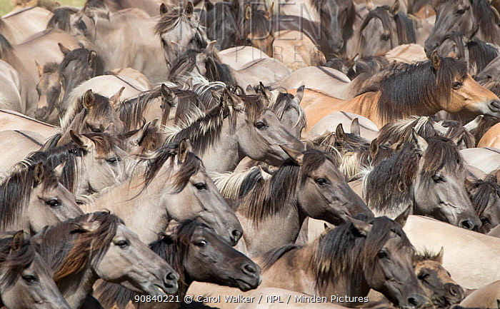 Dulmen pony, wild mares and foals running together at roundup. Dulmen, North Rhine-Westphalia, Germany.