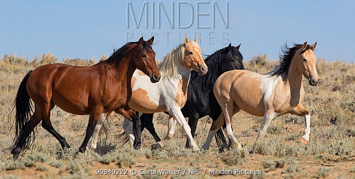 Mustang herd, four horses running in Red Desert Complex, Wyoming, USA. September.
